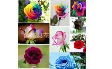 玫瑰种子_红双喜 多色玫瑰种子 技术资料指导