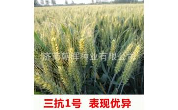 小麦种子_高产一级良种抗病抗倒伏稳